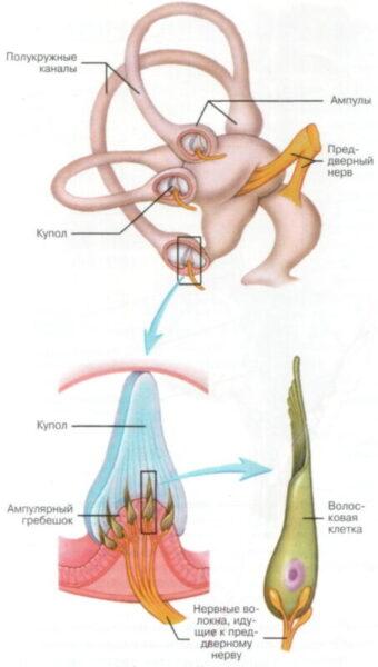 Строение полукружных каналов, гребешка и волосковой клетки