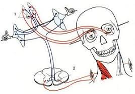 Информация о положении тела, поступившая в мозг от вестибулярного аппарата, сопоставляется с полученной от зрительного анализатора